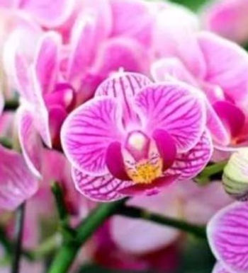 Orchid Oil