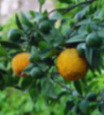 Bergamot Hydrosol