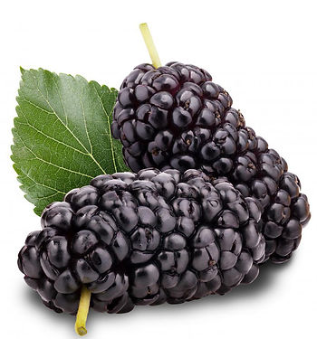 Mulberry Extract