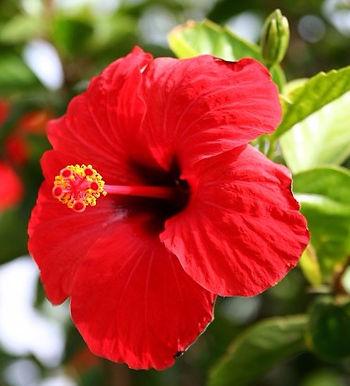Hibiscus Rosa-Sinensis Oil