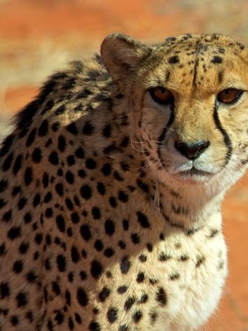 Cheetah Viewing