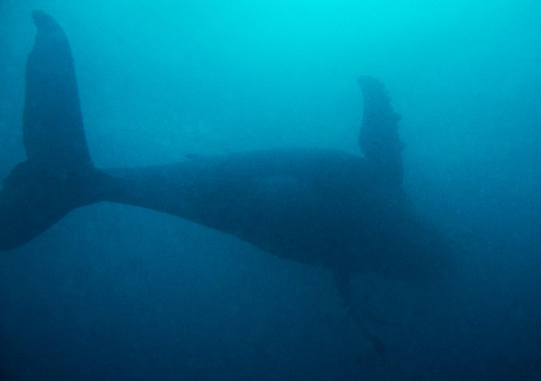 Humpback Whale - Aliwal Shoal