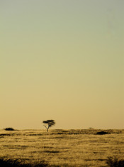 Acacia in the desert