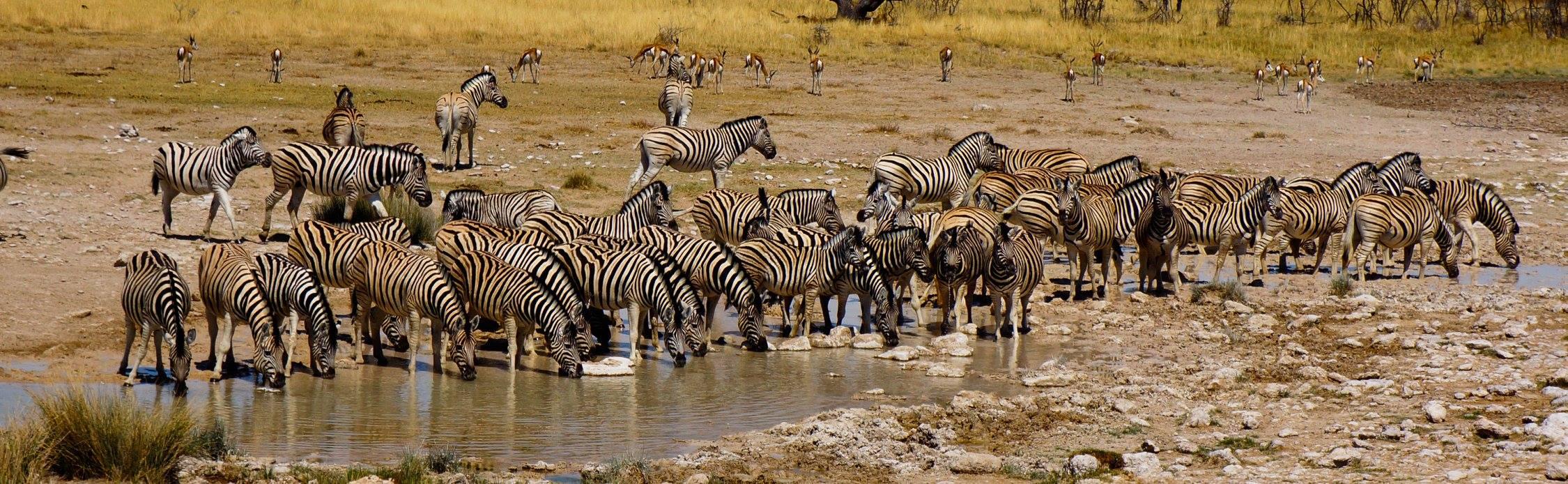 Zebra at a Waterhole in Etosha
