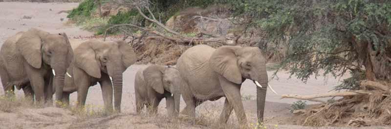 Desert elephants in Damaraland