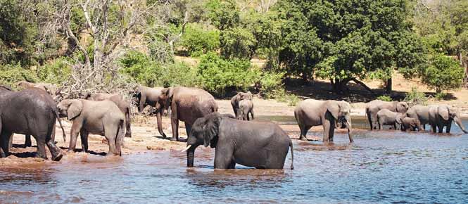 Elephants in the Chobe River