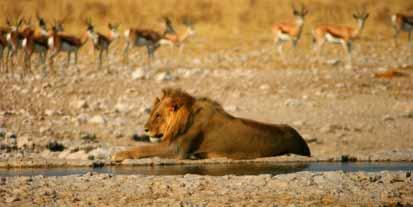 Lion at a waterhole in Etosha
