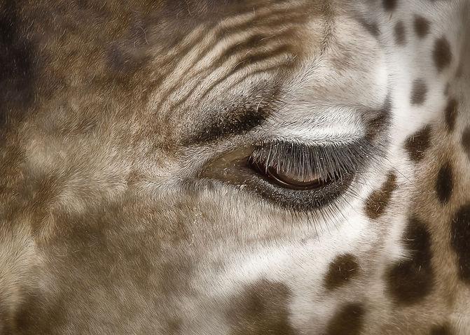 giraffe-4491868_1920.jpg