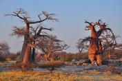 Baobab Trees - Botswana