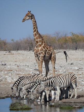 Giraffe at Etosha Waterhole