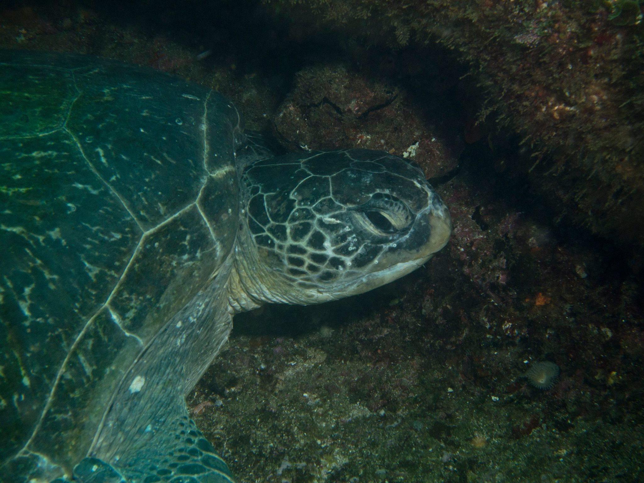 Turtle - Aliwal Shoal
