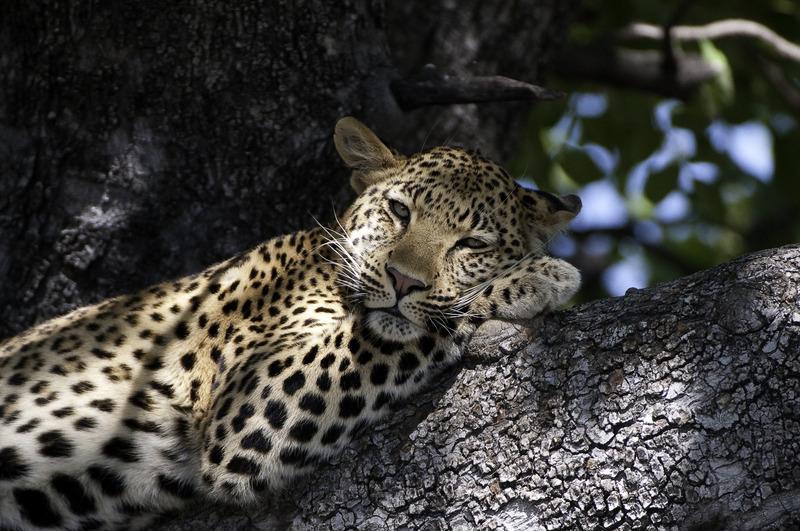 Leopard in Chobe - Botswana