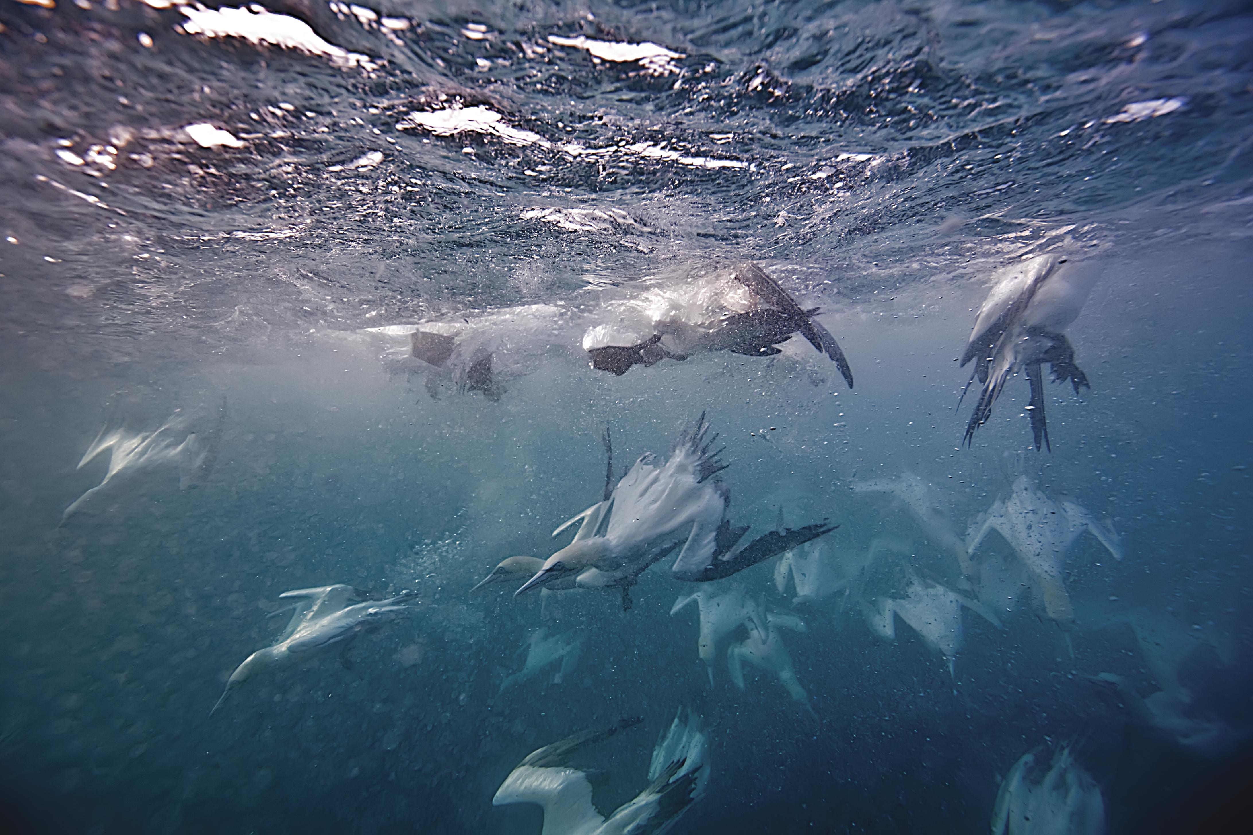 Gannets feast on sardines