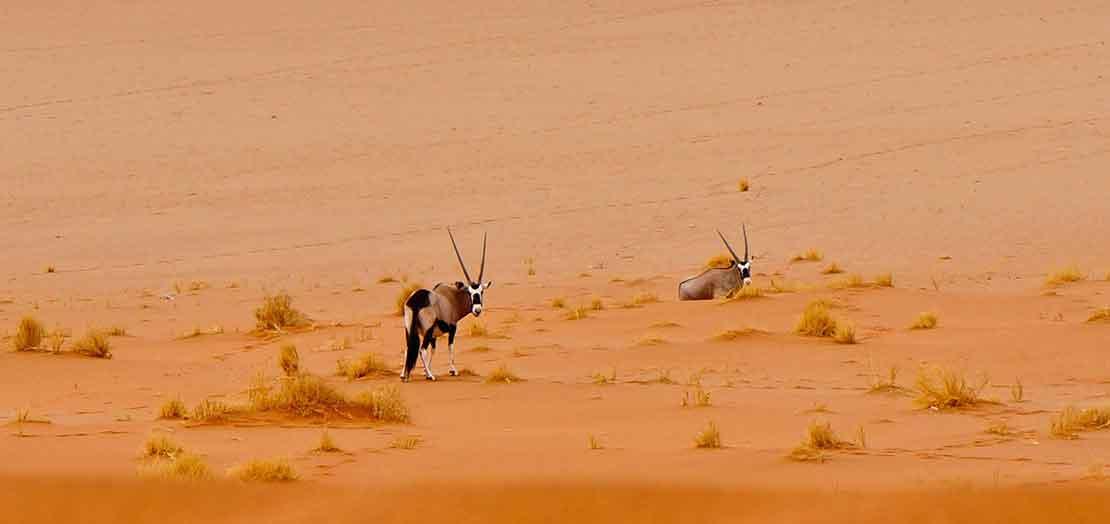 Gemsbok on the dunes