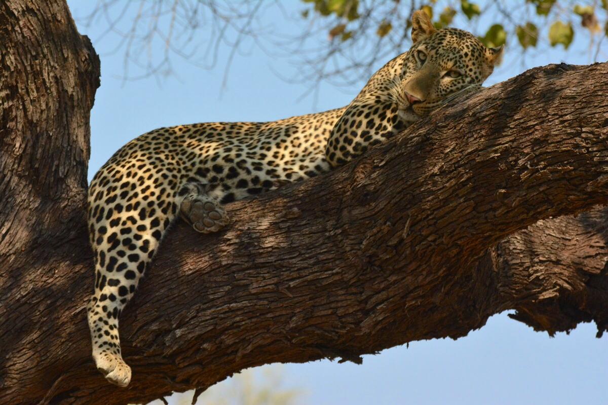 Leopard in Chobe NP