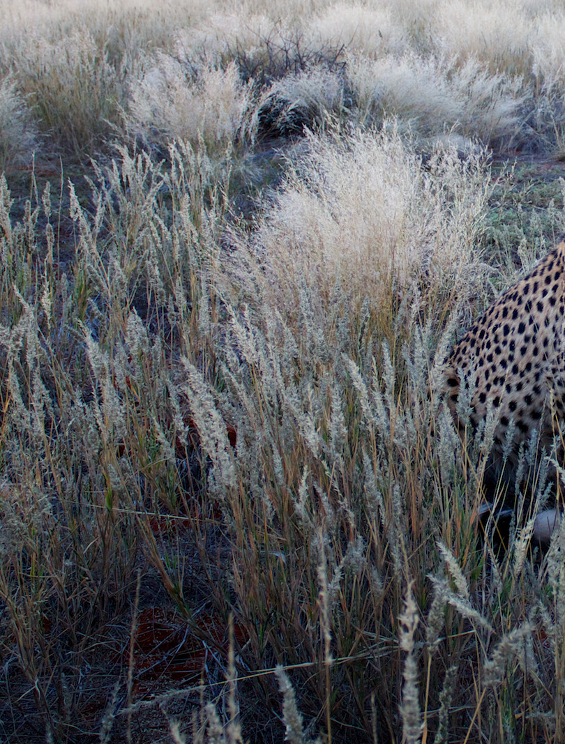 Cheetah Drive