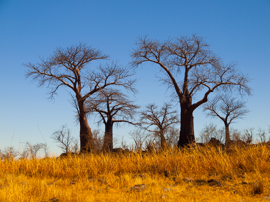 Baobab Trees near Savuti