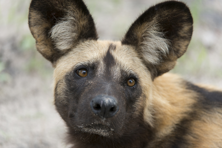 Wild Dog - Chobe National Park