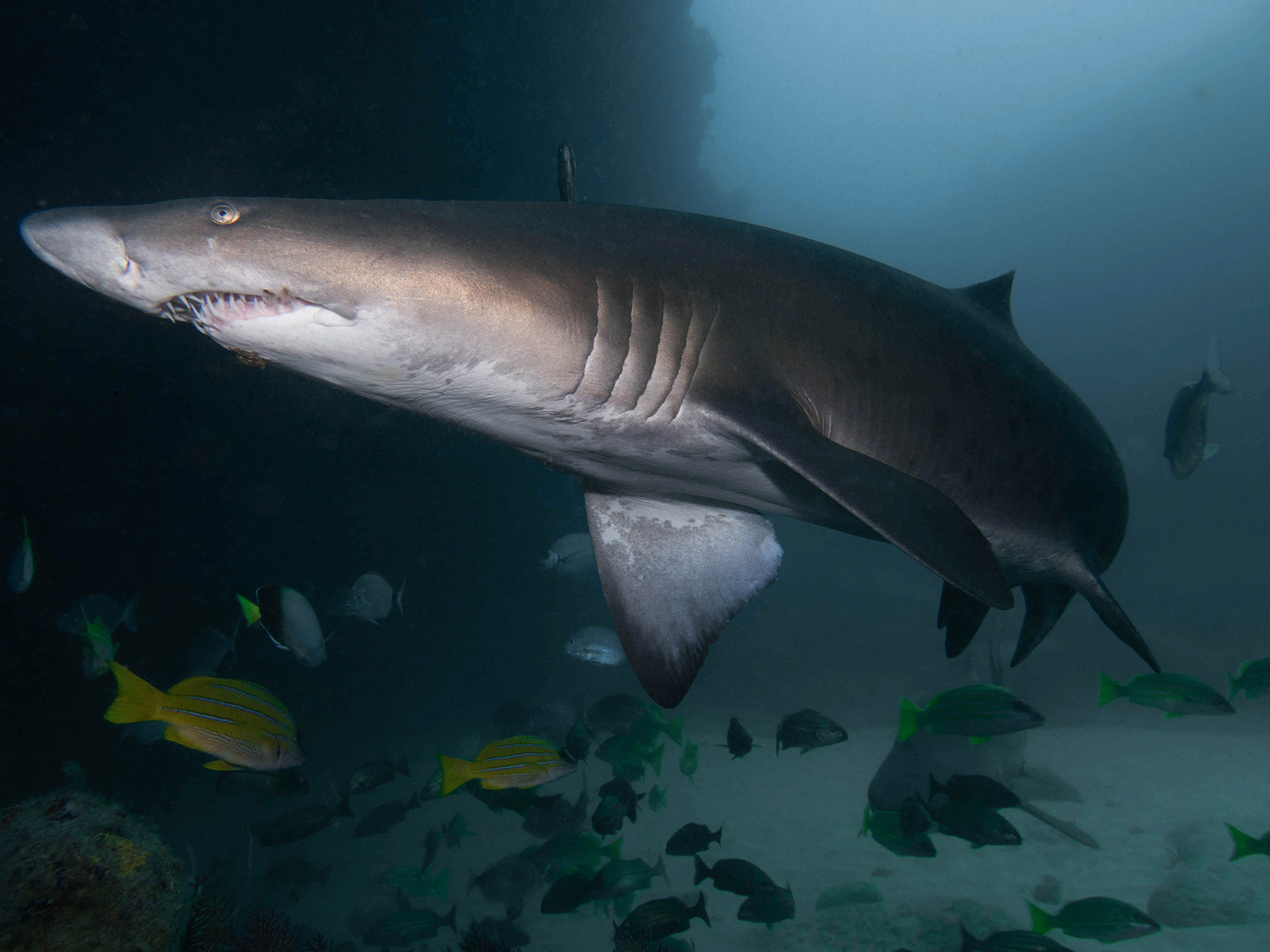 Ragged Tooth Shark Dive