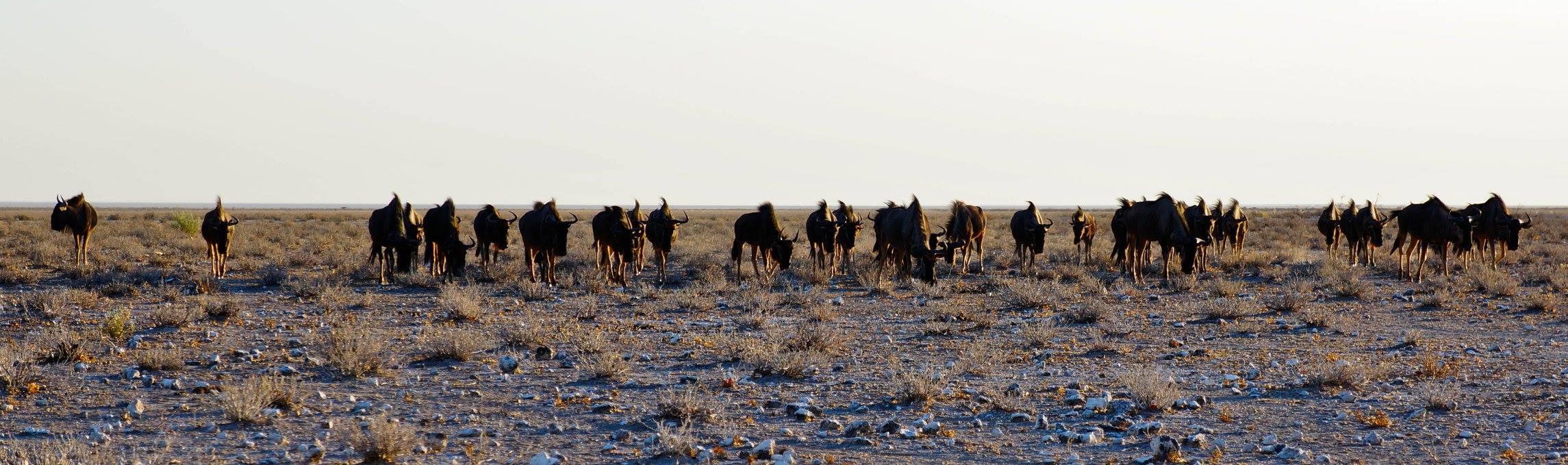 wildebeest3.jpg