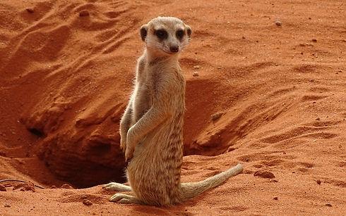 Southern Kalahari - Meerkat