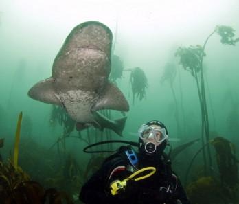 Sevengill shark diving
