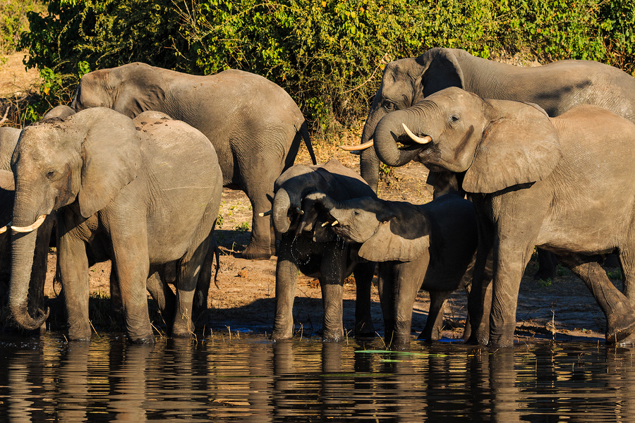 Elephant Herd - Chobe River