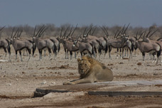Lion and Gemsbok at Etosha Waterhole
