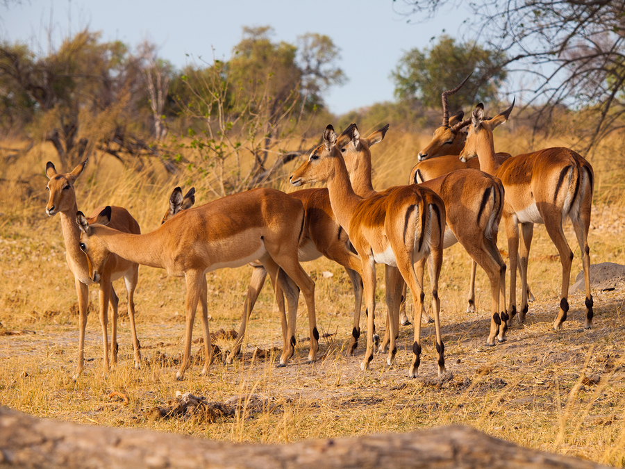 Impala herd in Chobe National Park