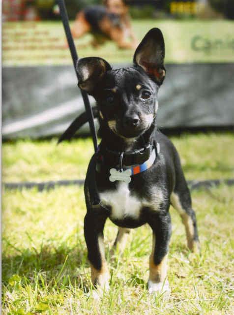 Jackahuahua Max as Puppy