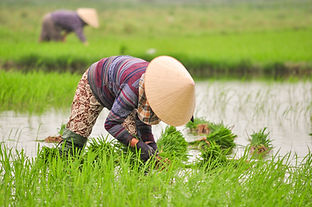 Vietnam_Rice_2020.jpg