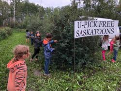 Saskatoon picking