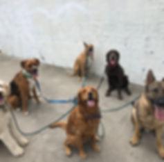 Dog training san diego pack walk train