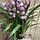 Thumbnail: Cymbidium Orchid
