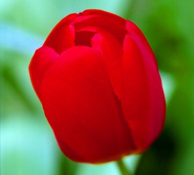 RED CROCUS.jpg