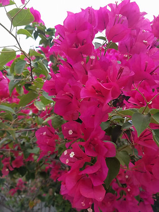 Island Flowers