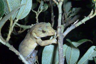 LHI gecko- 2012