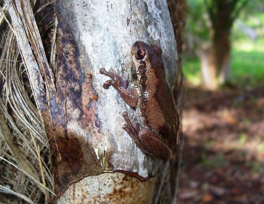 Bleating tree frog LHI
