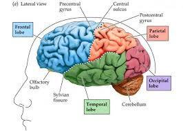 Kit 39: Parts of Brain 2