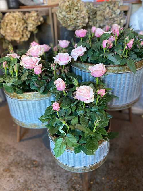 Medium rose patio planter
