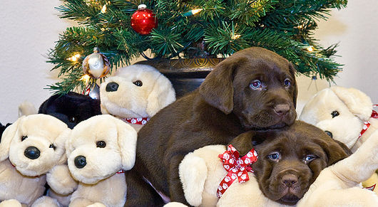 Chocolate Lab Puppies Under The Christmas Tree!