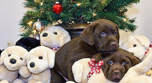 Chocolate Lab Puppies Under The Christmas Tree!