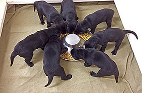 Black Lab Puppies at The Chow Tray