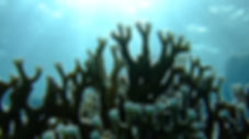 millepora gegenlicht1.JPG