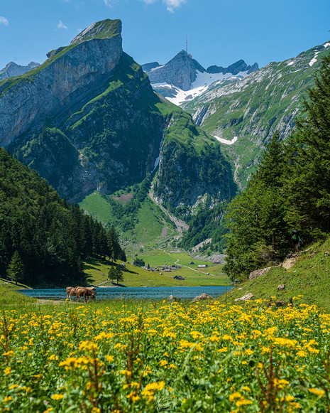 Dandelion Field at Seealpsee
