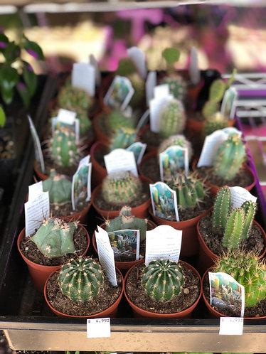 """Cactus Assortment 3"""""""