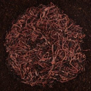 500 Red Composting Worms Mix