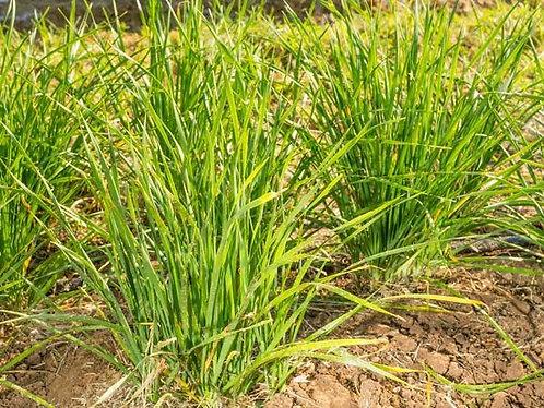 "Baker Creek Heirloom Seeds ""CHINESE CHIVES"""