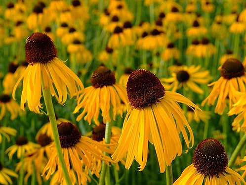 "Baker Creek Heirloom Seeds ""ECHINACEA - PARADOXA OR OZARK YELLOW CONEFLOWER"""