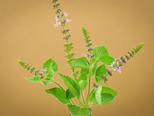 "Baker Creek Heirloom Seeds ""BASIL - BLUE SPICE"""